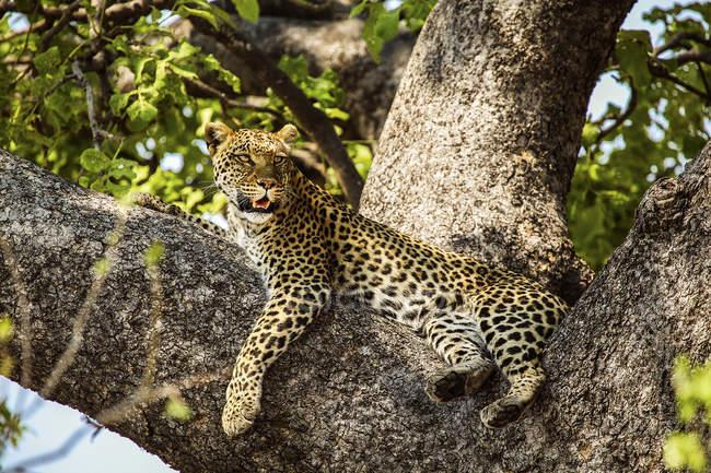 Днем Гепард лежит на ветвях деревьев, дельта Окаванго, Ботсвана — стоковое фото