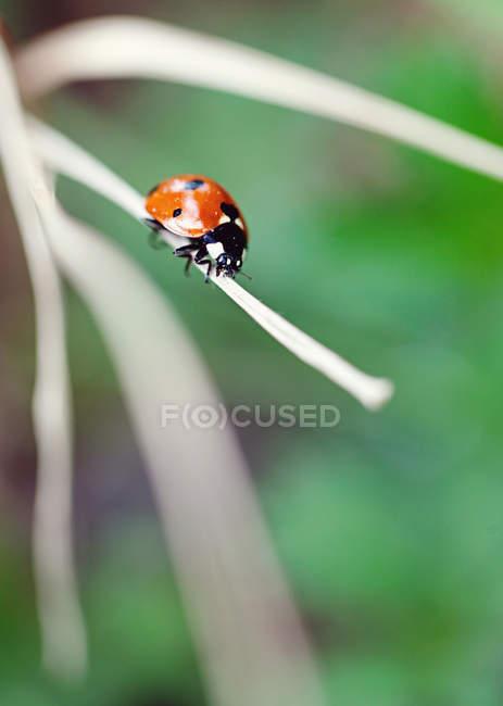 Ladybug perching on dry blade of grass — Stock Photo