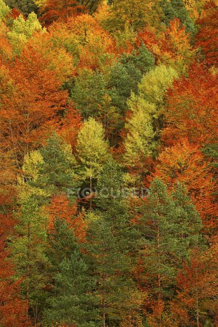 Вид на хвойный лес осенью, Национальный парк Ордеса, Испания — стоковое фото