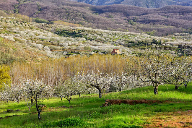 Valle del Jerte, Valley with blooming cherry trees, Extremadura, Spain — Stock Photo