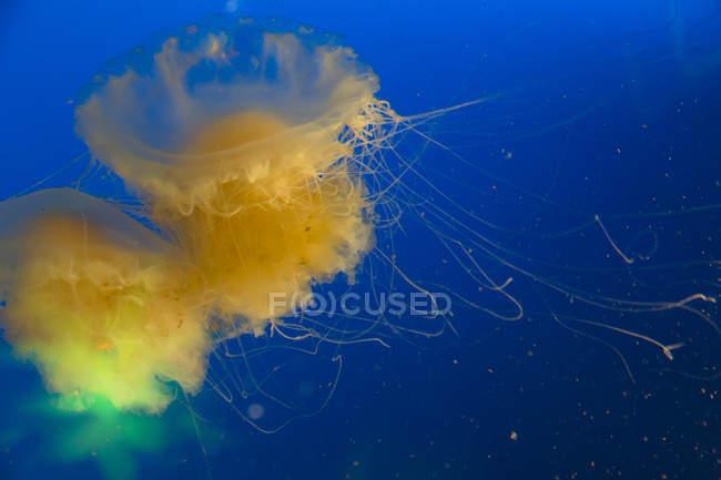 З довгим щупальця медузи — стокове фото