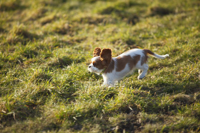 Cavalier King Charles Spaniel puppy running on meadow — Stock Photo