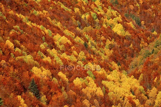Luftaufnahme von Nadelwald im Herbst bei Tageslicht, Ordesa Nationalpark, Spanien. — Stockfoto
