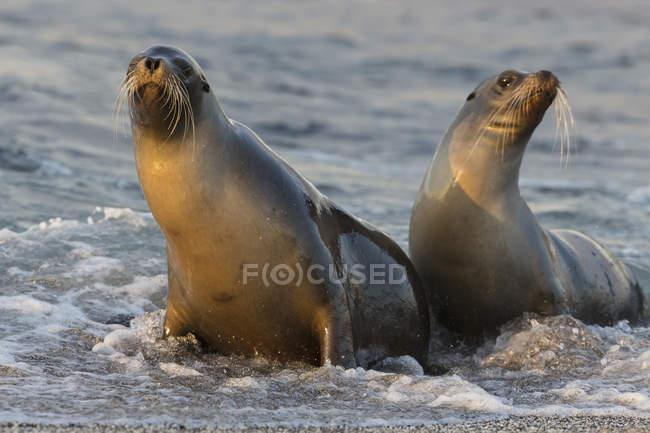 Due leoni marini in acqua sul lungomare — Foto stock