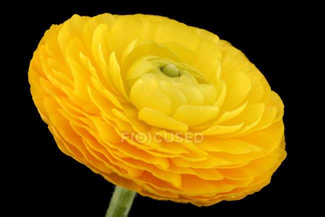 Fleur de renoncule, jaune, gros plan sur fond noir — Photo de stock