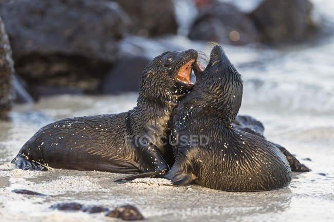 Ecuador, Isole Galapagos, Due leoni marini che giocano sulla spiaggia — Foto stock