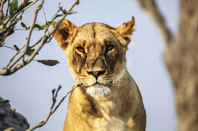 Closeup view of lioness muzzle — Stock Photo