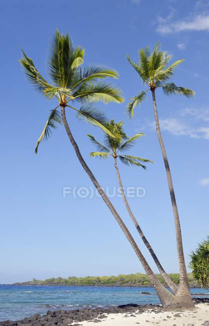 EUA, Hawaii, ilha grande, Honaunau-Napoopoo, três palmeiras, Arecaceae, na praia — Fotografia de Stock