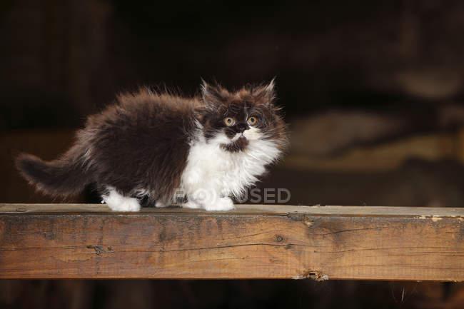Британский длинноволосый котенок стоит на деревянной балке — стоковое фото