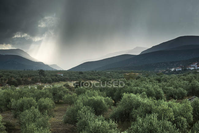 Greece, olive orchard over field with plants and hills on background — Stock Photo
