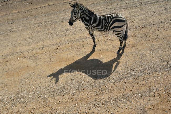 Namibia, solitario, llanuras cebra que está parado en carril de la luz del sol - foto de stock