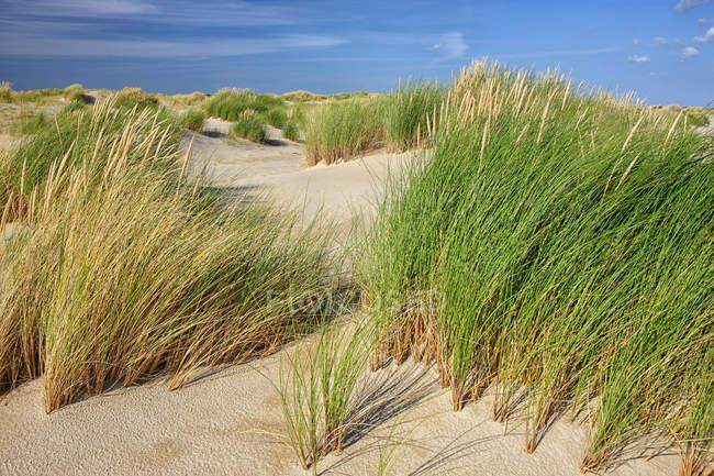 Нідерланди, острові Texel дюни Texel Національний парк — стокове фото