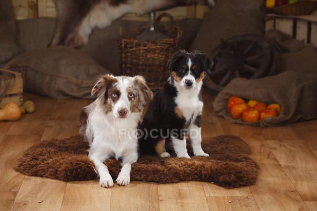 Cadela de pastor australiano e cachorro na sheepskinn no celeiro — Fotografia de Stock
