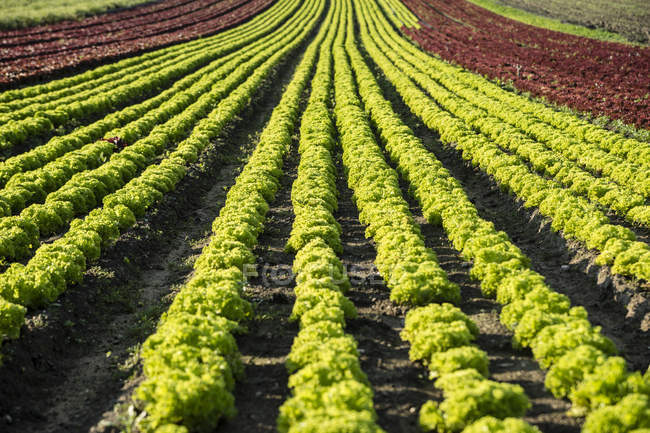 Field with rows of Lolo Rosso lettuce and green lettuce leaves in sunshine — Stock Photo