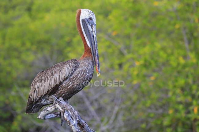 Дневное время крупным планом вид Коричневый пеликан, сидя на ветке — стоковое фото