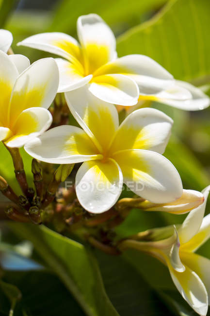 Mauritius, frangipani blossom close up — Stock Photo