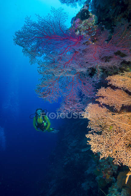 Pacific Ocean, Palau, scuba diver in coral reef with Giant Fan Coral — Stock Photo