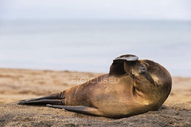 Vista diurna do jovem leão-marinho com barbatana no focinho — Fotografia de Stock