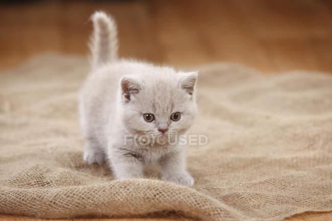 Pé de gato Shorthair britânico de saco — Fotografia de Stock