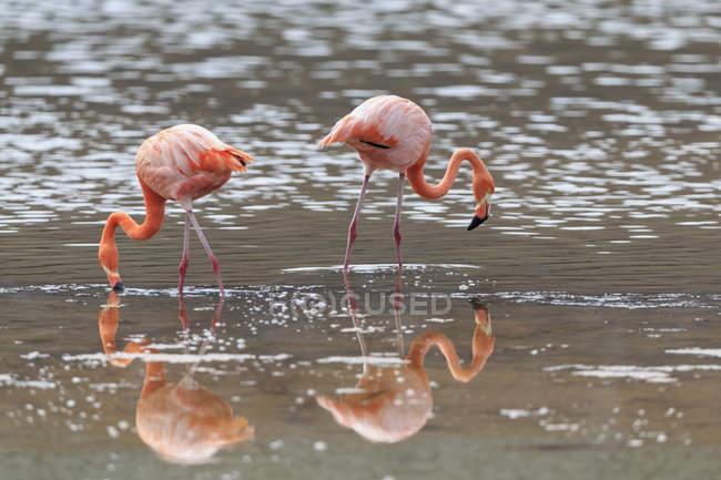 Vista laterale di due fenicotteri rosa che si nutrono in laguna — Foto stock