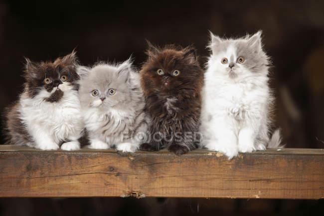 Четыре британских длинноволосых котенка сидят на деревянной балке — стоковое фото