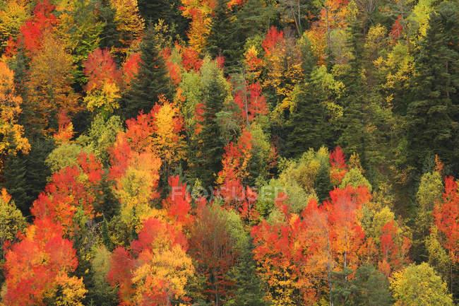 Malerische Aussicht von Nadelwald im Herbst bei Tageslicht, Ordesa Nationalpark, Spanien. — Stockfoto