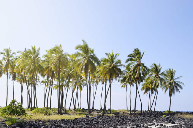 США, Гаваї, великий острів, Honaunau-Napoopoo, пальм та вивержених гірських порід в Puuhonua o Honaunau — стокове фото