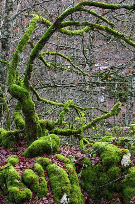 Spain, Urbasa-Andia Natural Park, Moss grown trees — Stock Photo