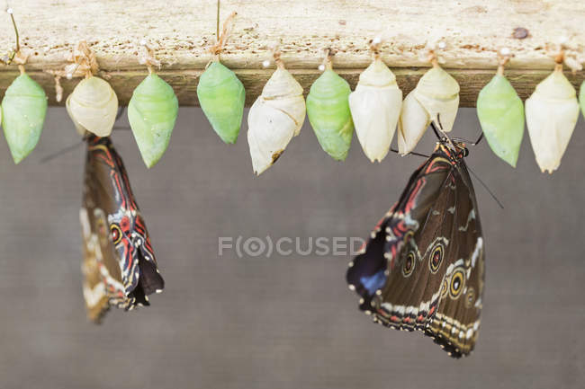 Closeup view of freshly hatched Helenor Morphos — Stock Photo
