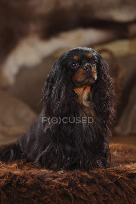 Cavalier King Charles Spaniel, assis sur des tapis de fourrure brun — Photo de stock