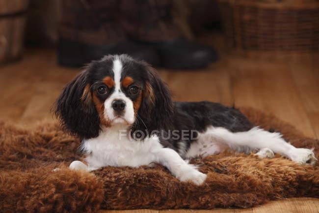 Cavalier King Charles Spaniel puppy lying on sheepskin in barn — Stock Photo