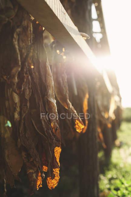 Bulgária, Razgrad, folhas de tabaco secas — Fotografia de Stock