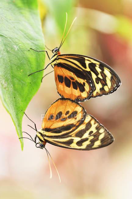 Крупним планом подання Lycorea метеликів спаровування на лист — стокове фото