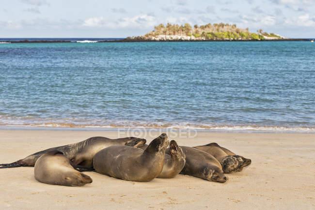 Ecuador, Islas Galápagos, Santa Fe, seis lobos marinos tirados en la playa en primera línea de mar - foto de stock