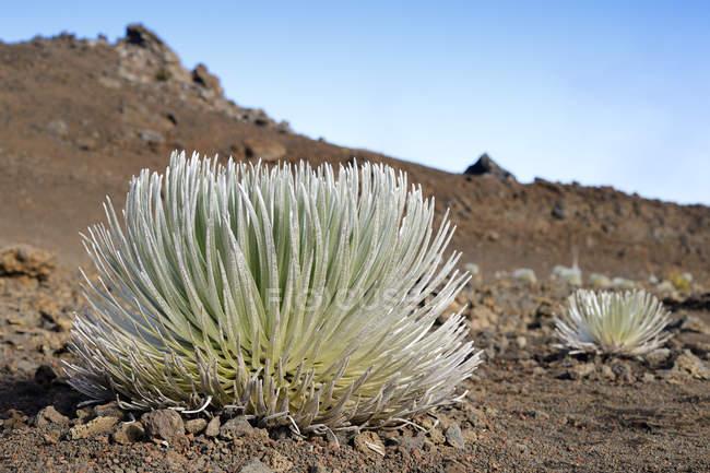 США, Гаваї, Мауї, Халеакала, silversword, що ростуть в вулканічний кратер — стокове фото