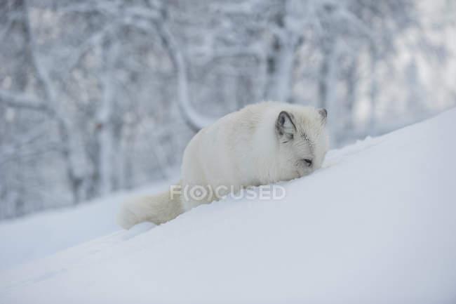 Vue de la chasse au renard polaire dans la neige — Photo de stock