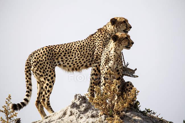 Botswana, Okavango-Delta, zwei Geparden auf Beutesuche — Stockfoto