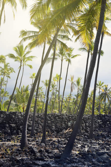 США, Гаваї, великий острів, Honaunau-Napoopoo, пальм та магматичні кам'яну стіну в Puuhonua o Honaunau — стокове фото