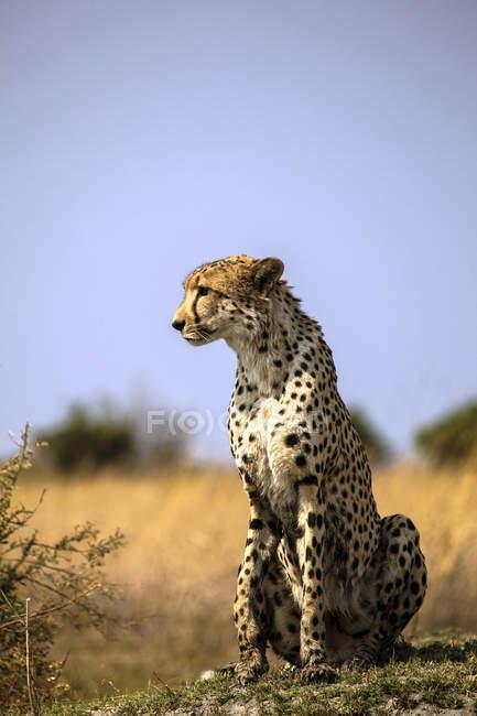 Botswana, Okavango Delta, cheetah — Fotografia de Stock