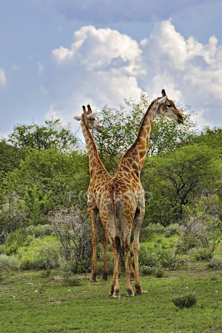 Намібія, Національний парк Етоша, два жирафів, Giraffa Жираф — стокове фото