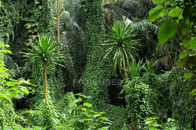 Ouganda, parc national impénétrable de Bwindi, forêt impénétrable de Bwindi — Photo de stock