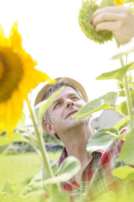 Farmer on sunflower field examining blossom — Stock Photo