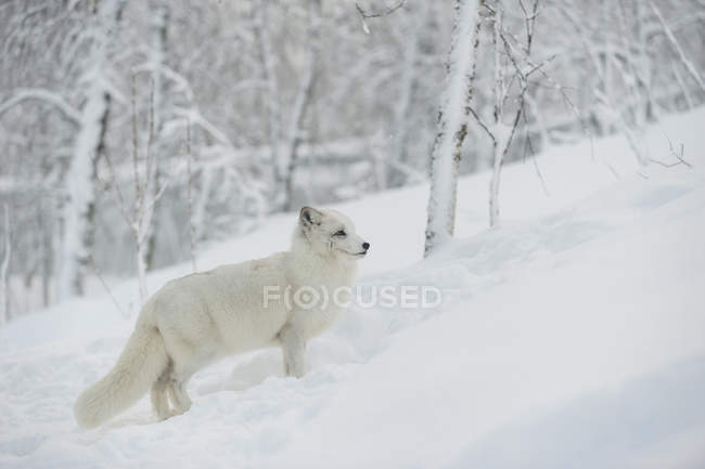 Side view of polar fox in winter forest — Stock Photo