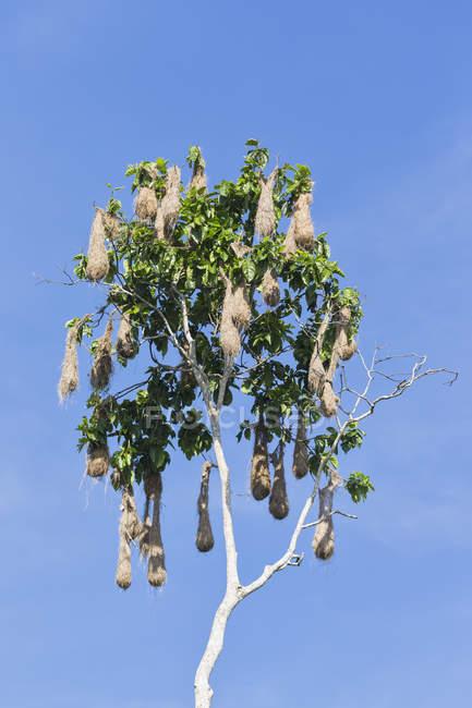 Vista de ângulo baixo durante o dia de ninhos de caciques-de-uropígio-amarelo na árvore — Fotografia de Stock