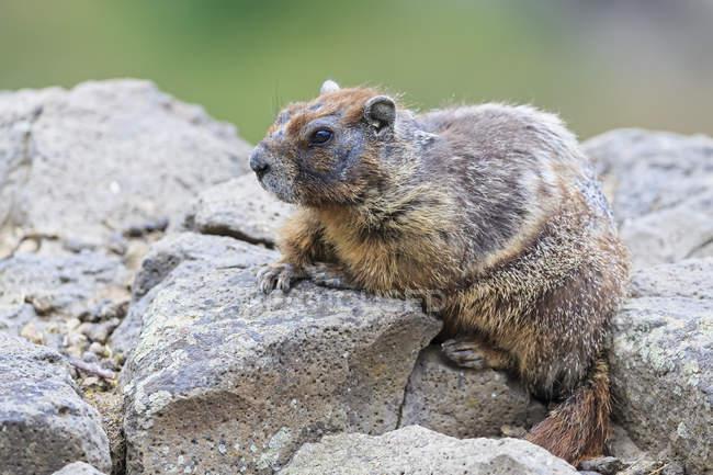 Дневной вид Желтобрюхий сурок, сидя на скале — стоковое фото