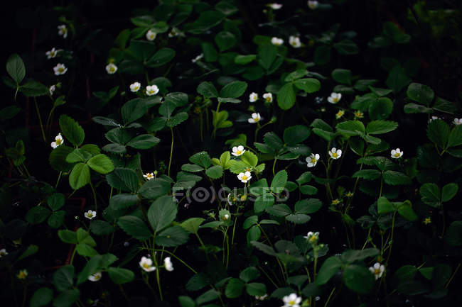 Blossoming strawberry plants on dark background — Stock Photo