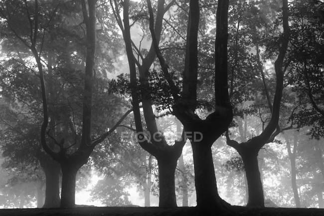 Испания, Деревья в природном парке Уркиола, черно-белые — стоковое фото