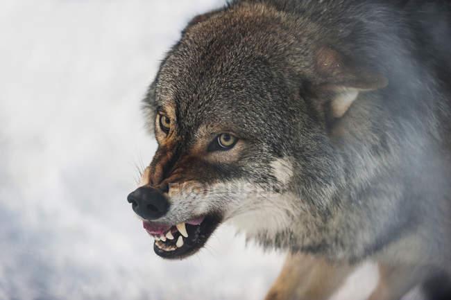 Close-up do focinho de lobo com descobrindo os dentes — Fotografia de Stock
