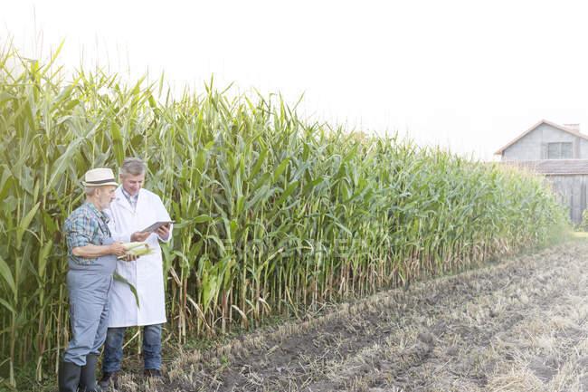 Landwirt und Wissenschaftler untersuchen Mais im Feld — Stockfoto