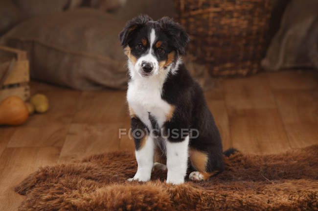 Australian Shepherd puppy sitting on sheepskin in barn — Stock Photo